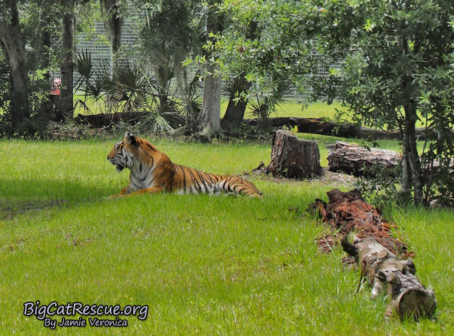 Priya Tiger
