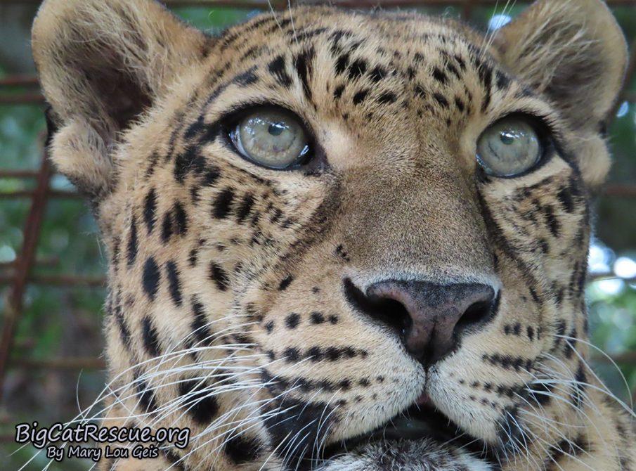 Sundari Leopard