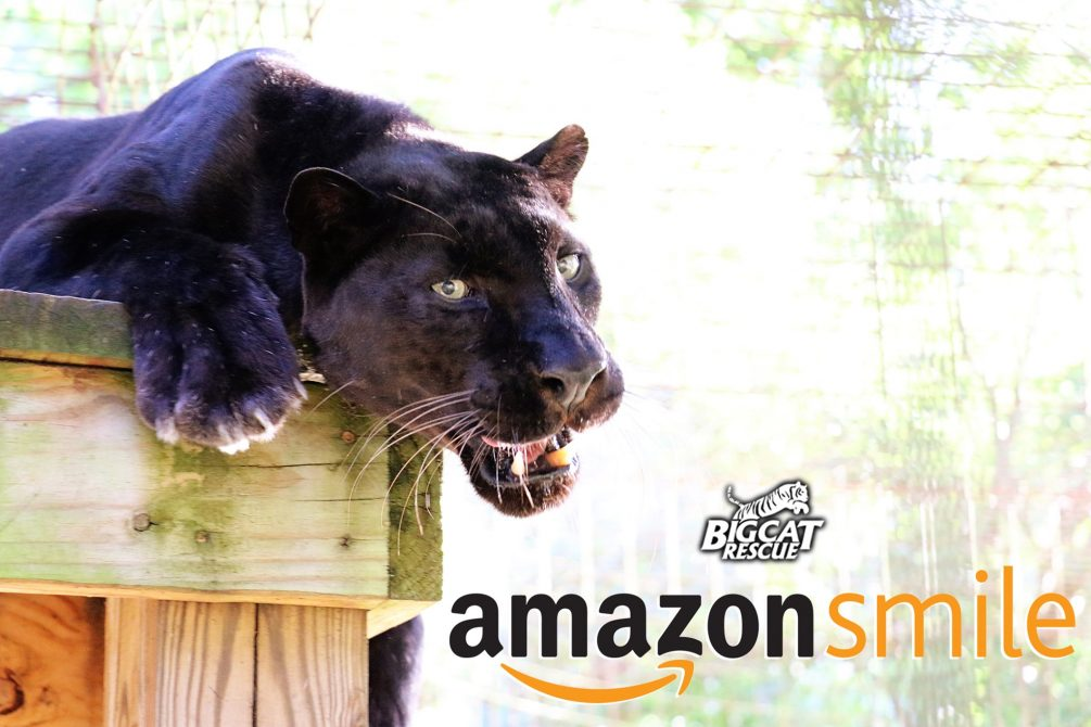 Make the Big Cats SMILE this holiday season! When you shop on Amazon- You can donate to the cats at NO COST TO YOU when you select BCR as your charity on Amazon Smile and shop Smile.Amazon.com instead of Amazon.com. It is exactly the same as regular Amazon EXCEPT when you use the Smile URL Amazon donates .5% of your purchase to BCR. It's added up to over $175,000 for the cats! Unique charity link https://smile.amazon.com/ch/59-3330495