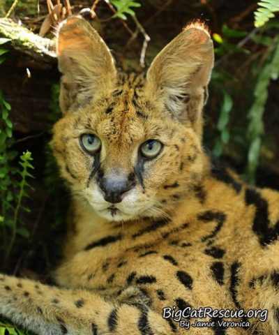 Zimba Serval sure is a handsome boy! This holiday season, would you consider setting up a Facebook Fundraiser for your favorite act at Big Cat Rescue? It is very easy to do and can make a really big impact on what we are able to do for the cats here. https://www.facebook.com/fund/bigcatrescue/