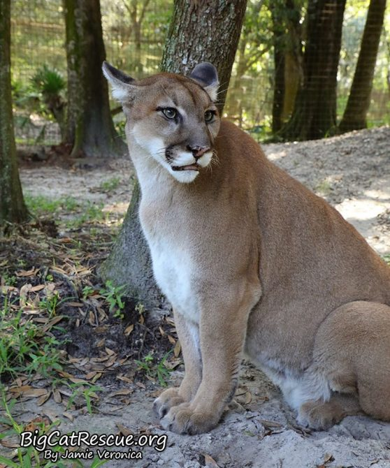 Area Cougar keeping watch on the tour path for someone with the treat bucket!
