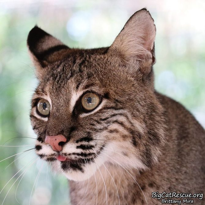 Sioux Bobcat is keeping her eyes on her neighbor to see what they are up to!!