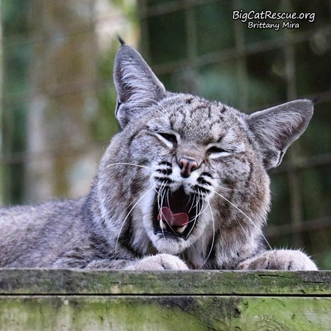 Goodnight Big Cat Rescue Friends! ? Philmo Bobcat says it's been a long day of being cute! Nite nite everyone!