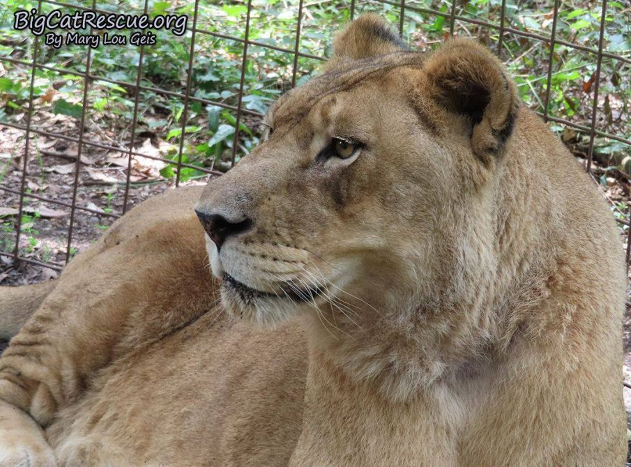 Good morning Big Cat Rescue Friends! ☀️ Queen Nikita Lion is surveying her kingdom on this beautiful Sunday!
