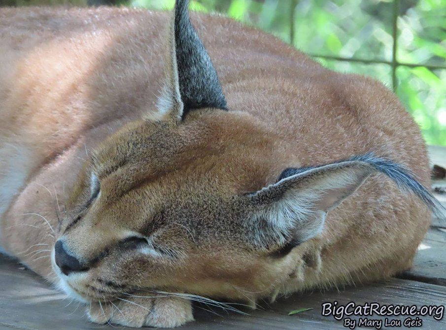 Good night Big Cat Rescue Friends! ? Miss Chaos Caracal is already off to dreamland!