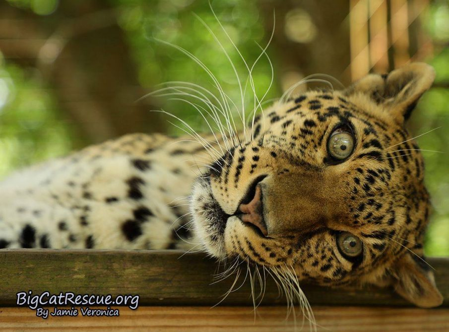 Sundari Leopard is trying to decide if she wants a nap or not.
