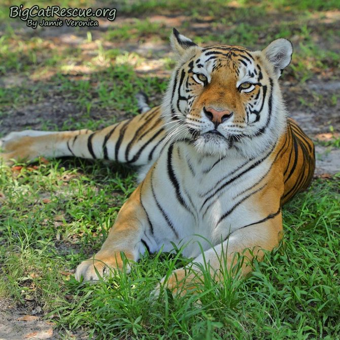 Good morning Big Cat Rescue Friends!☀️ Miss Dutchess Tiger welcomes you to CATurday! Have a great day everyone!