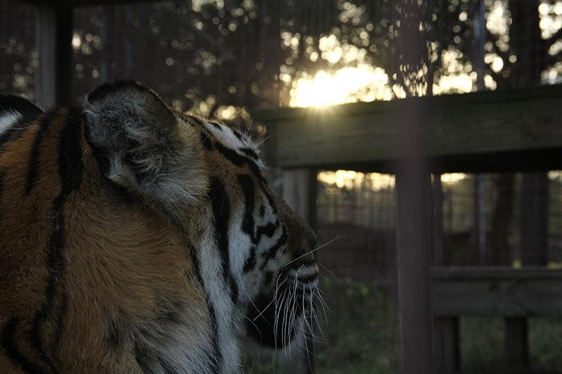 Amanda tiger sunset