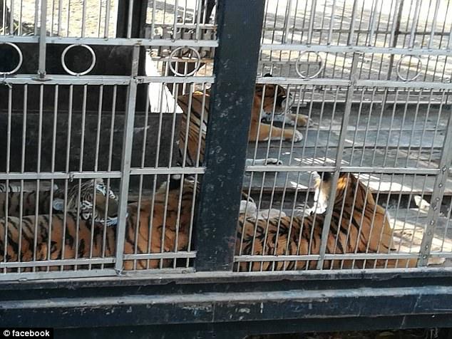 Guatemala Circus Tigers