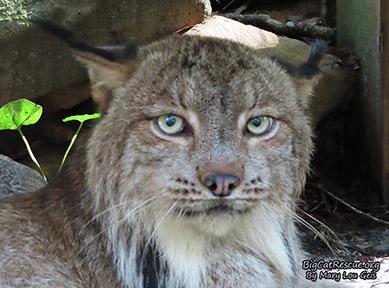 Gilligan Canadian Lynx