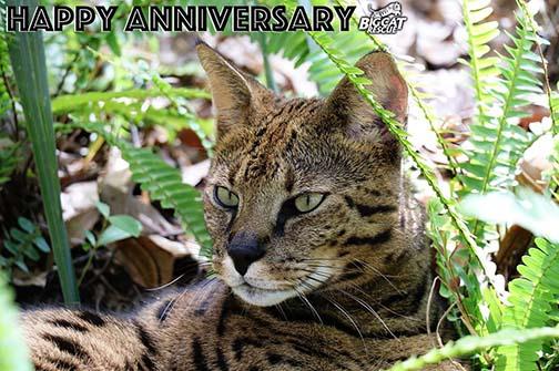 Happy Anniversary Beacher Savannah Cat