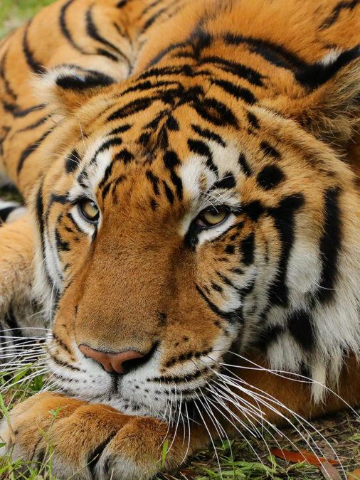 Volunteer Injured By Tiger