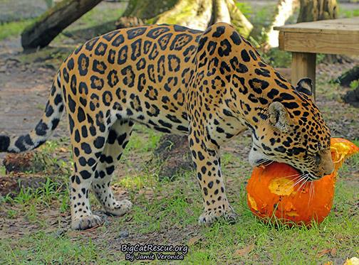 Manny Jaguar