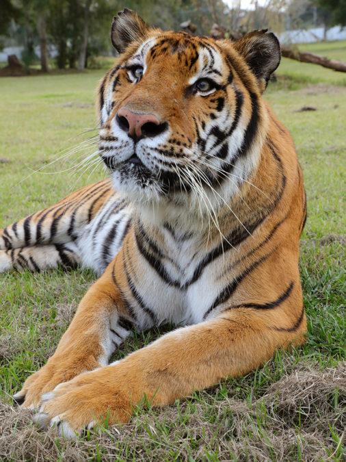 Simba-Tiger-2019