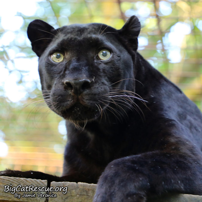 A black leopard named Jinx