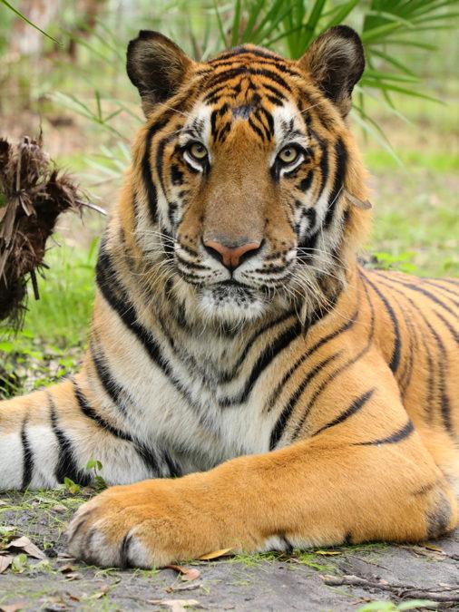 Max-Tiger-2019