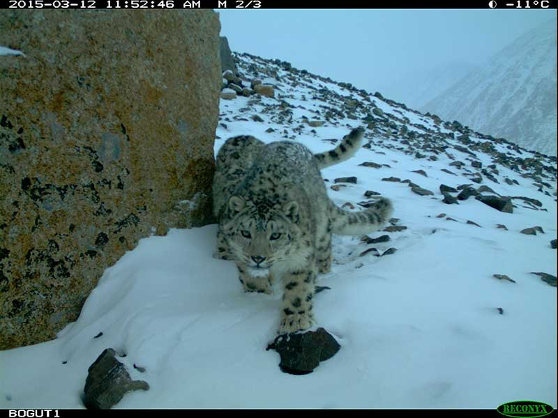 THE ALTAI PROJECT - SAVING SNOW LEOPARDS