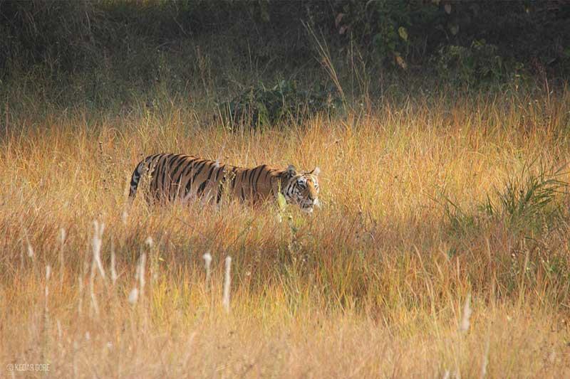The Corbett Foundation Tiger