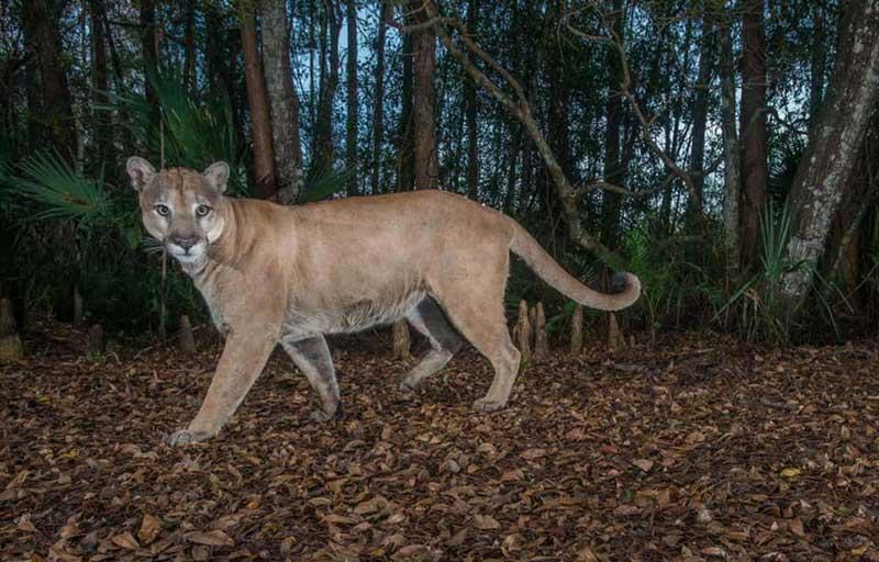 FLORIDA WILDLIFE CORRIDOR Panther
