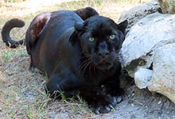 Jinx the black leopard