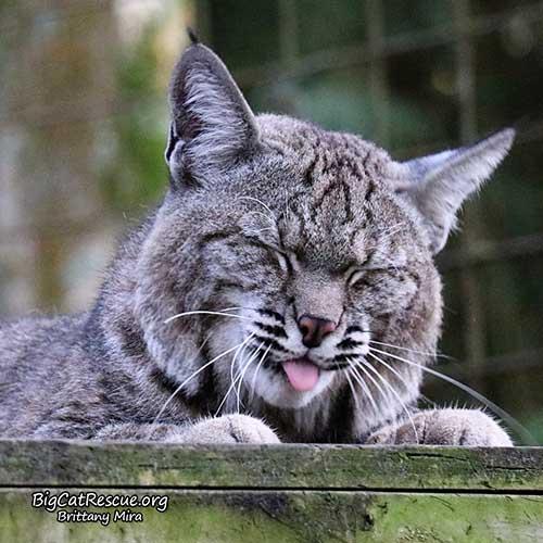 Philmo Bobcat
