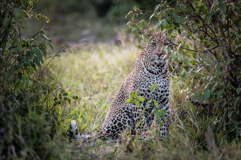 Singita Grumeti Fund Tanzania leopard
