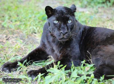 Jinx the Black Leopard (Smaller)