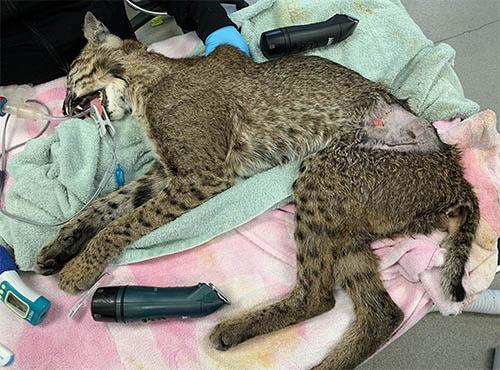 Romeo Wild Bobcat Rehab