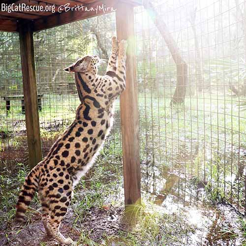 Hutch African Serval showing use what a big boy he is.