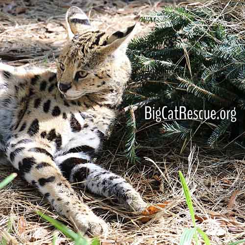 Hutch African Serval sure enjoyed his Christmas Tree Enrichment