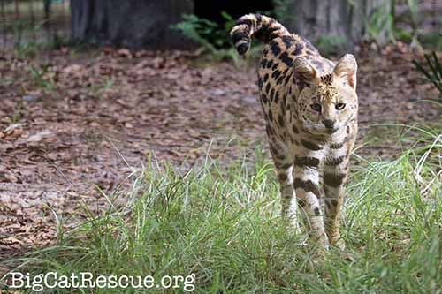 African Serval Hutch
