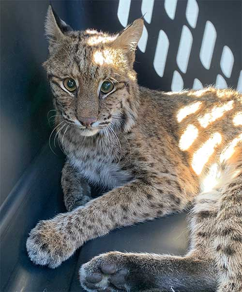 Wild bobcat hit by a car. Big Cat Rescue to the rescue.