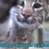 Bobcat Celebrates First Birthday