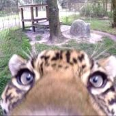 Jaguar Takes Down A Camera!