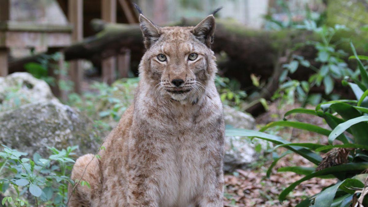 Lynx VS Bobcat - FAQ Friday | Big Cat Rescue