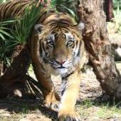 Tiger Named Max – A Circus Story