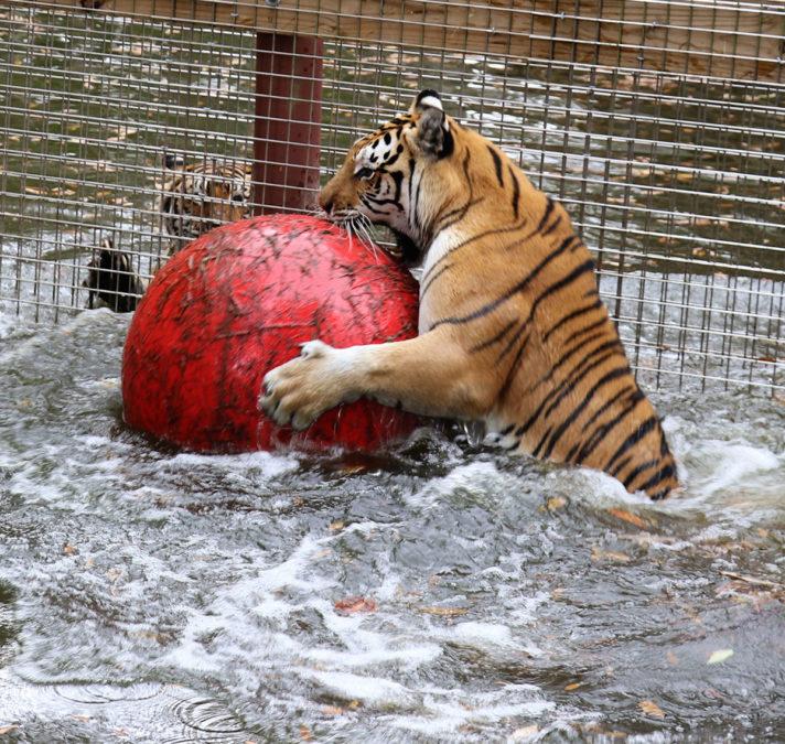 Dutchess Tiger ball Tiger Lake