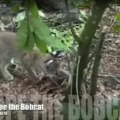 Hope the Bobcat 13