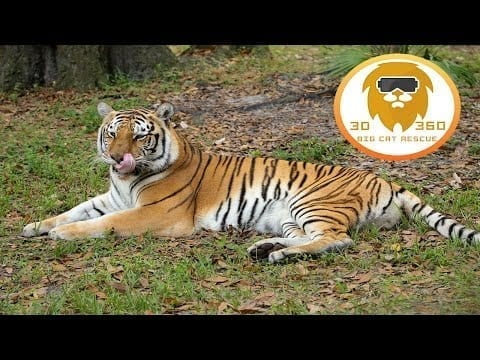 Treats For BIG Cats!  3D 180VR