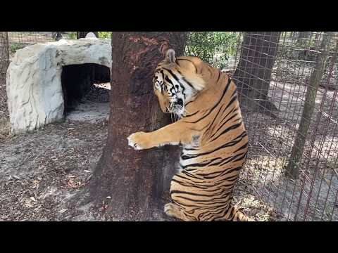 Tiger Tree Hugger