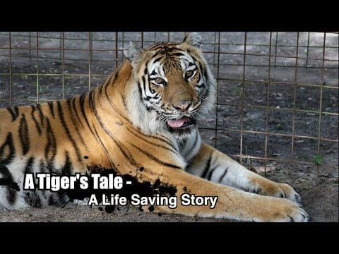 A Tiger's Tale – A Life Saving Story, Episode 2