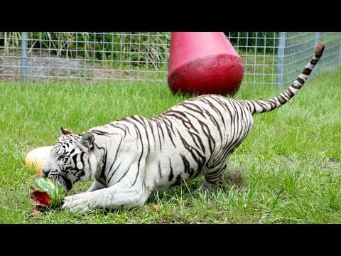 Big Cats + Watermelons = Summer FUN!