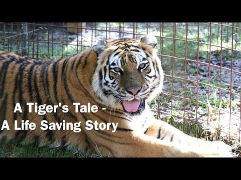 A Tiger's Tale – A Life Saving Story, Episode 1