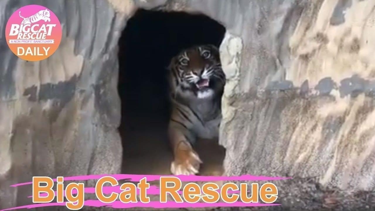 Big Cat Rescue Home Tour: Amanda Tiger