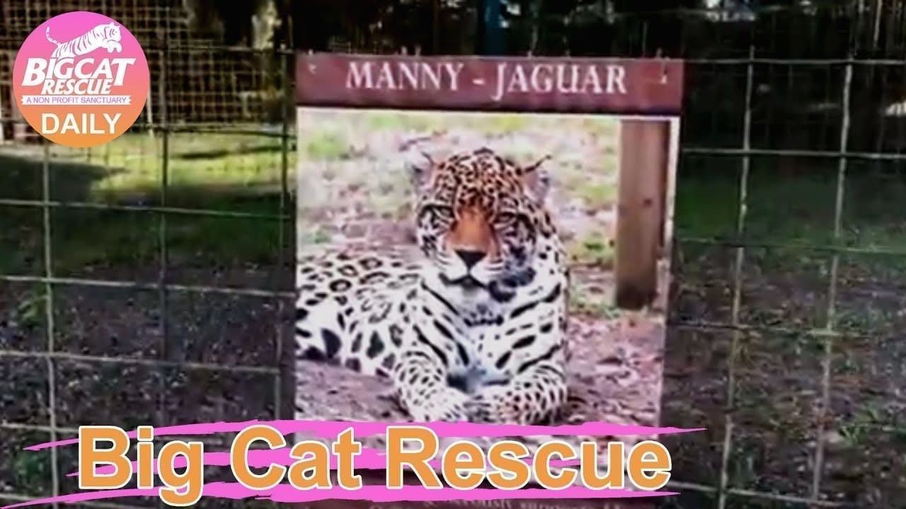 Big Cat Home Tour: Manny Jaguar