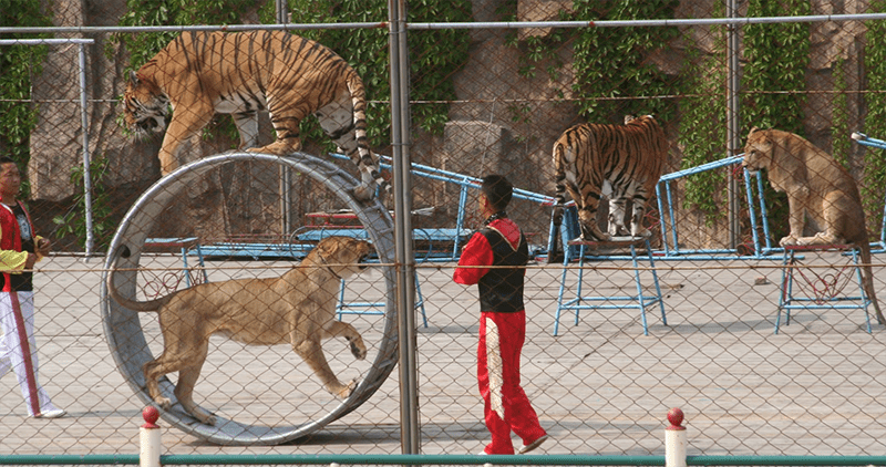 Asian Circus Lion Tiger Abuse