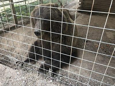GW Zoo Bear