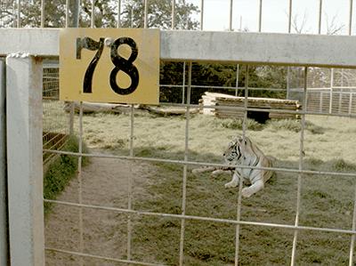 GW Zoo Tiger