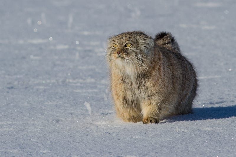 Pallas-Cat-Kittens-Steppe-Wildlife-Conservation- Research
