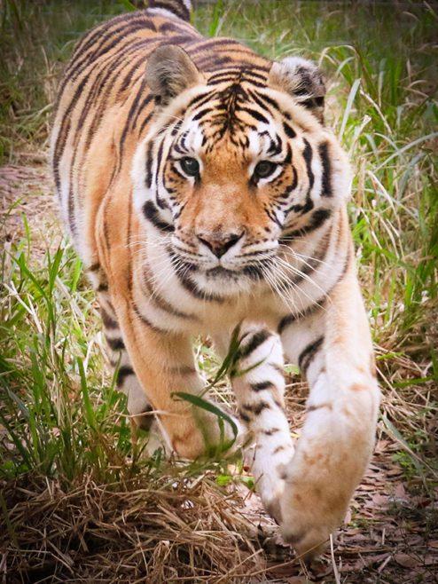Jasmine Tiger at Big Cat Rescue